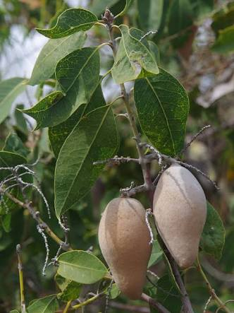 Woody Pear (Xylomelum occidentale)