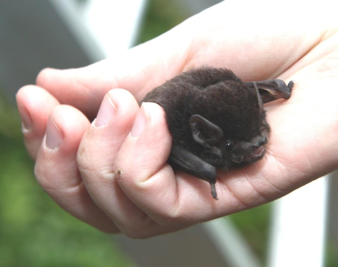 Goulds wattled bat 2